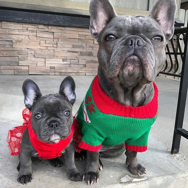 Santa S Elves At Your Service Festivefurriends Frenchies Pinterest Dogs And French Bulldog
