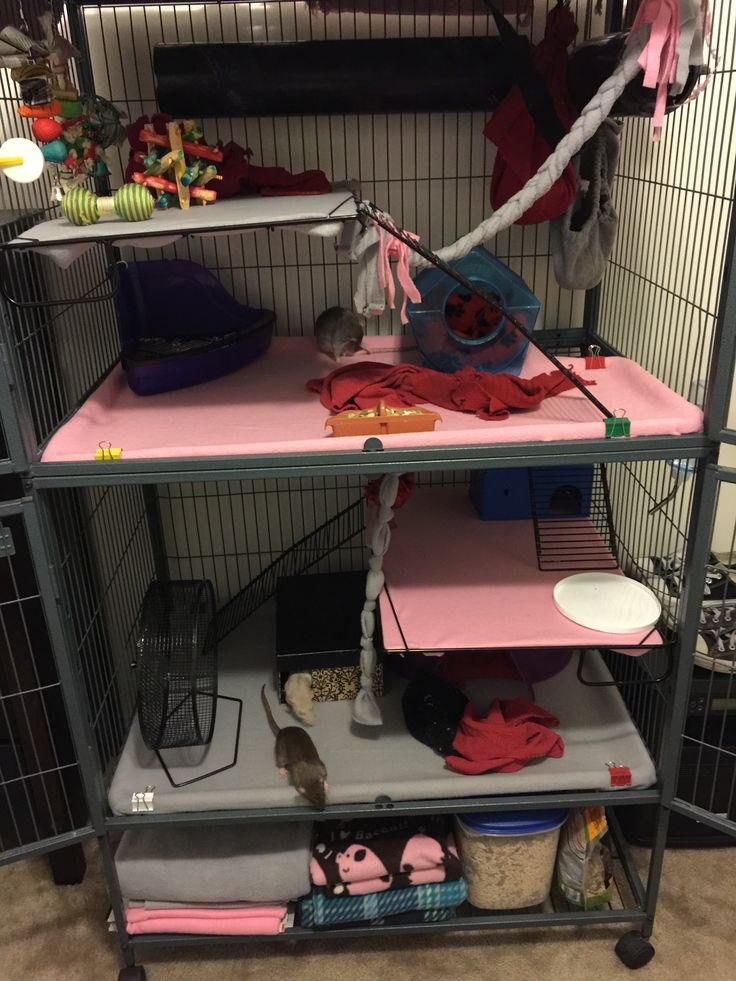Ferret nation cage holding three female dumbo rats
