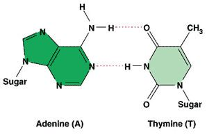 adenine and thymine relationship quizzes