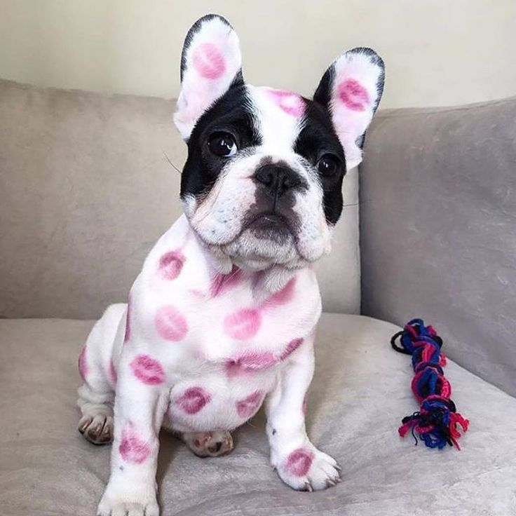 This Frenchie is what all pups should look like. So many kisses!  www.bullymake.com