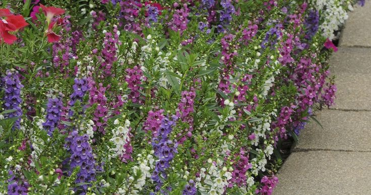 Angelo is -- Gardeners should get acquainted with this heat-tolerant, long-lasting annual that blooms in cooling colors.