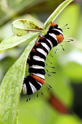 Striped caterpillar ... Actually, its a very hungry caterpillar munching its way to become an Austrailian Joseph's Coat Moth  (not a monarch as I originally thought. Monarch caterpillars are black-white-yellow stripe)