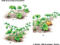 Tailler courges et potirons