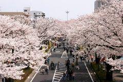 意外と桜の名所が多い日立市の平和通りを中心として第55回日立さくらまつりが行われます 日立駅前から国道6号線までの平和通り約1kmに植えられたソメイヨシノの並木は本当に見事です 4月8日と9日は江戸時代からの伝統を受け継ぐ高さ15m重さ5tの巨大な山車の上でからくり人形芝居を上演する日立風流物も登場します 夜になるとライトアップもされるので幻想的な夜桜を楽しむこともできますよ tags[茨城県]