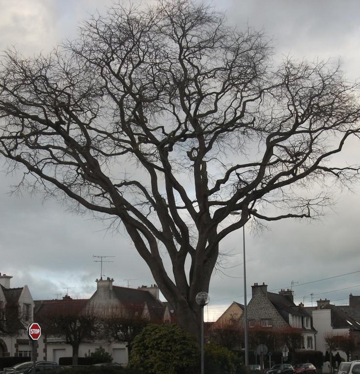 #Tree. Rue des Merles. Saint Brieuc.    photo.cb