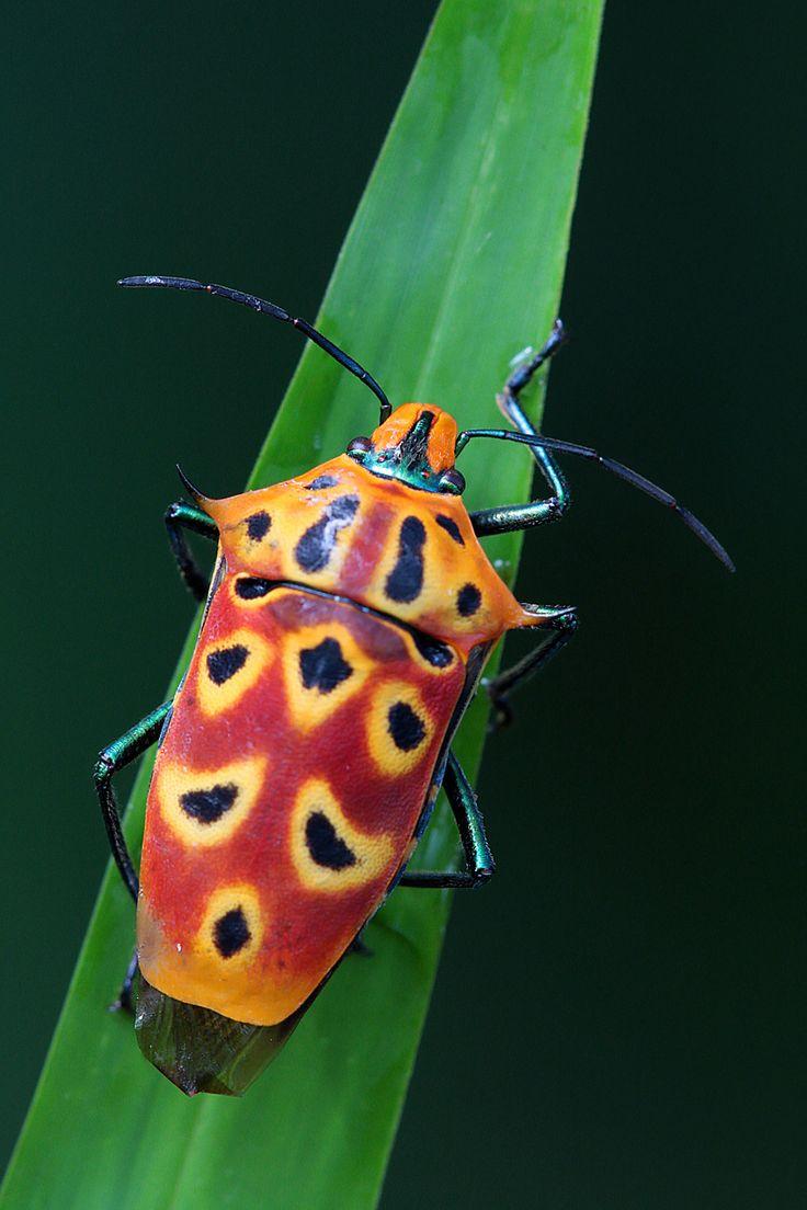 (Cantao ocellatus) shield bug