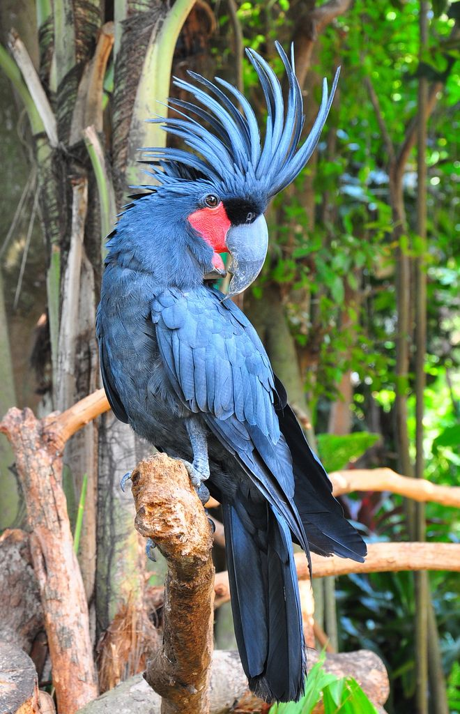 Kakatua Raja ~ The palm cockatoo, also known as the goliath cockatoo or great black cockatoo, is a large smoky-grey or black parrot of the cockatoo family native to New Guinea and far north Queensland, Australia.