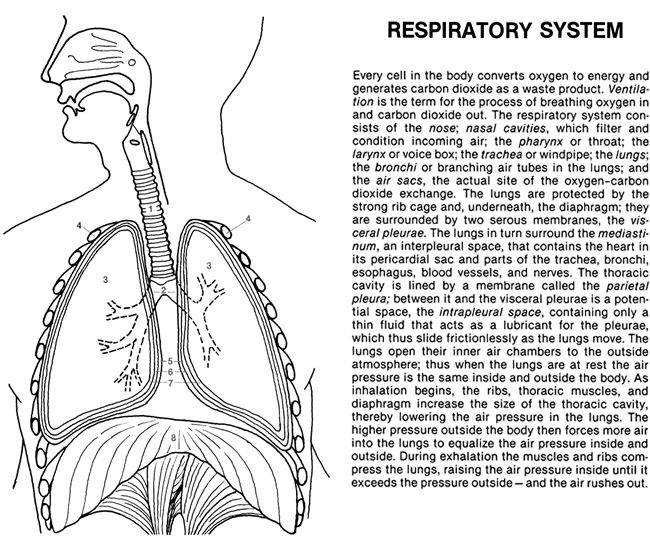 anatomy coloring pages of respiratory - photo#16