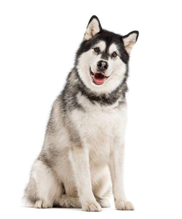 アラスカン マラミュートの特徴と性格 飼い方 価格相場など 犬図鑑 いぬのきもちweb Magazine アラスカン マラミュート マラミュート 犬