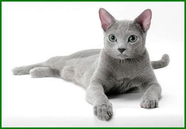 10 Jenis Kucing Yang Penampilannya Paling Cantik Daftarhewan Com Di 2020 Kucing Russian Blue Kucing Anjing