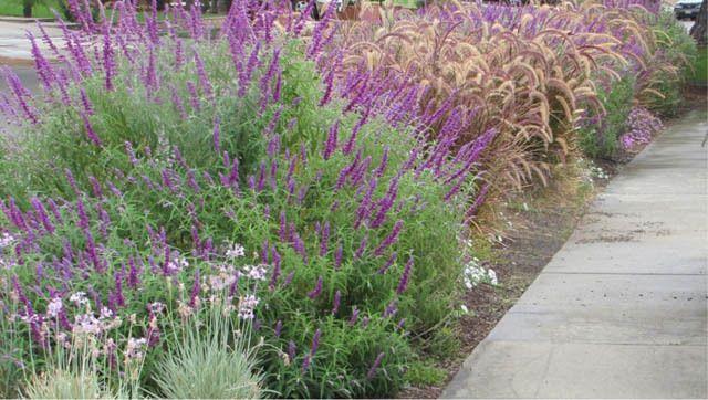 Garden Ideas, Landscaping Ideas, Drought Tolerant garden ideas, Full Sun garden ideas, low maintenance garden ideas, Salvia leucantha, Mexican bush sage, Pennisetum Rubrum, Purple Fountain grass,