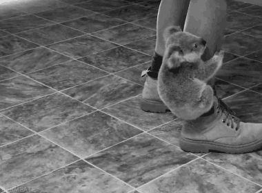 (notitle) – Koala