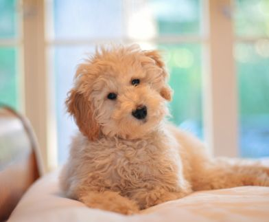 Pocket Mini Goldendoodle