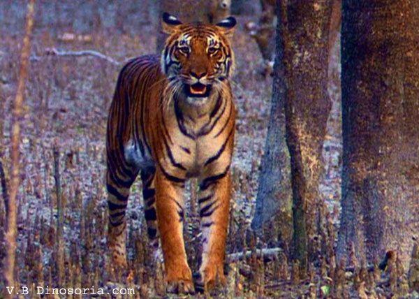 Article sur le Tigre du Bengale - Frawsy