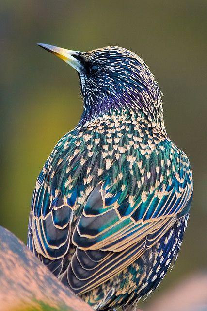Spreeuw (Sturnus vulgaris)  blues, purples, speckled w/stars