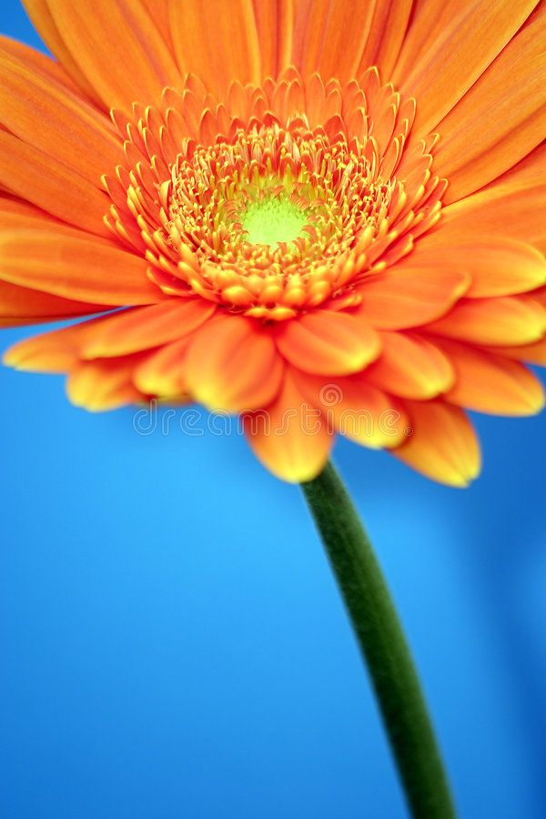 Orange Gerbera An Orange Gerbera Ad Orange Gerbera Orange Ad Orange Color Color Photography Orange Flowers
