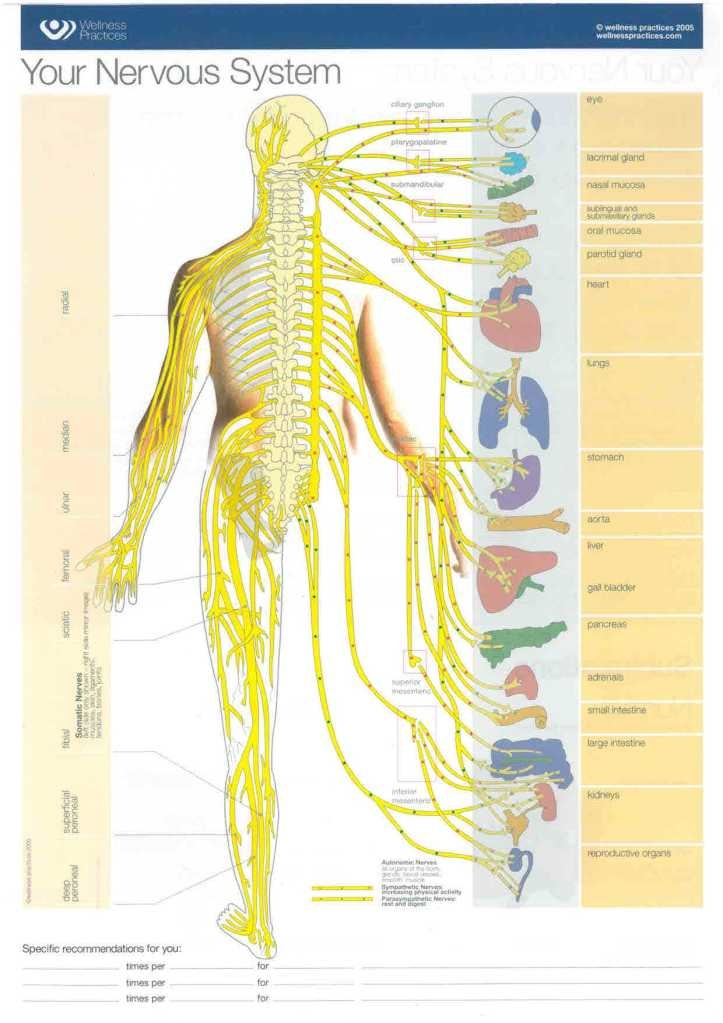 Nervous system and your body functions life science
