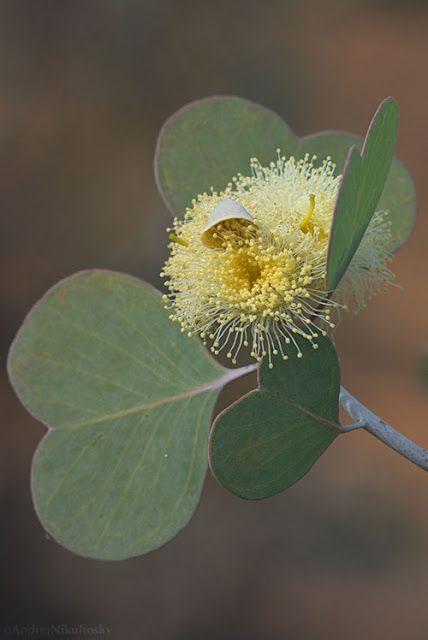 Eucalypt in flower- australia, picture via scentofapassion tumblr