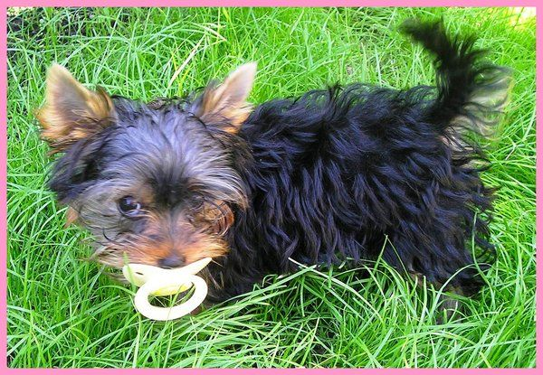 1000+ images about Cute baby yorkies on Pinterest ...