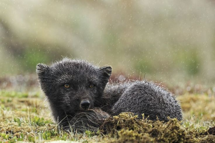 "Little arctic fox was taken in natural reserve of ""Hornstrandir"" of Iceland. more raining this day ^^"