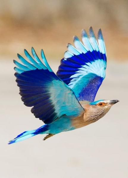 Indian Roller: When the 'Neelkanth' / Indian Roller (Coracias benghalensis) is in flight, the most glorious of all blue feather - the bright-blue, turquoise and indigo are all visible in their full majesty. The bird is best known for the aerobatic displays of the male during the breeding season.- Photo by Hansu Nahar