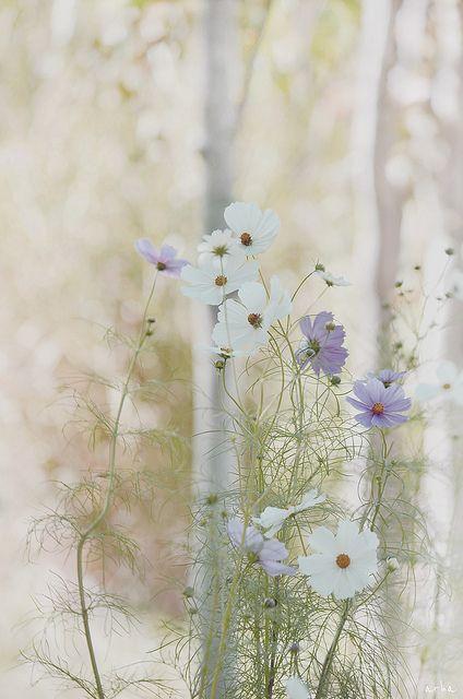 Cosmos branco e lilás
