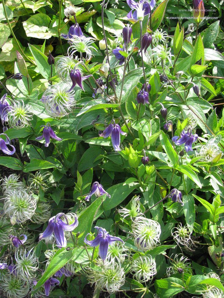 Clematis integrifolia 'Hendersonii'- wordt 1 m. hoog, kan steun gebruiken , bloeit met blauwe hangende bloemen, de hele bloemblaadjes krullen naar buiten.