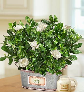 inspiring gardenia house plant. Gardenias 97 best Gardenia s images on Pinterest  White flowers Beautiful