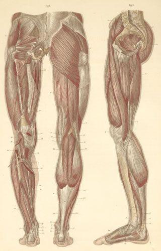 leg muscles drawing - photo #35