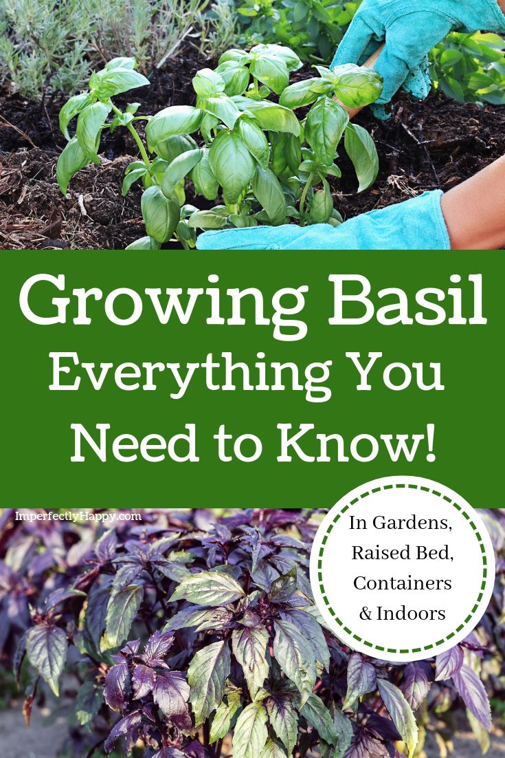 Growing basil everything you need to know the