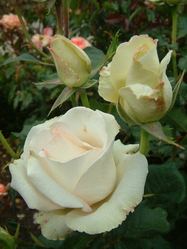 'Aorangi' | Hybrid Tea rose
