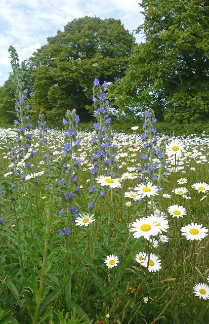 Viper's Bugloss - Echium vulgare - May June July - August, 9-12 months after sowing. (with Ox-eye Daisies)