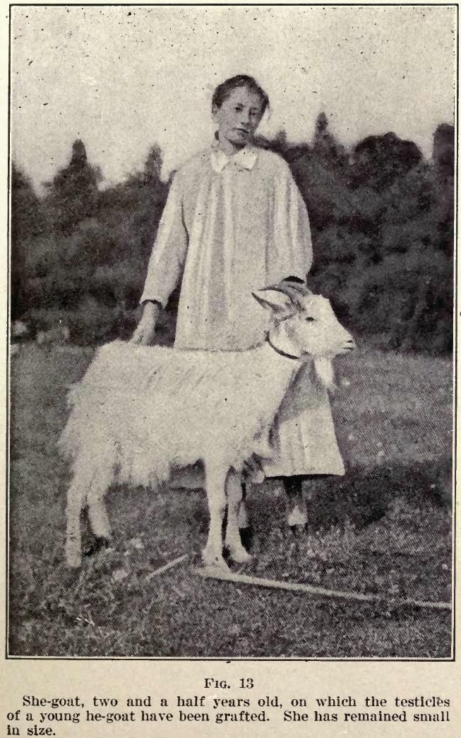 A female goat that has had the testes from a male goat grafted on to it by Serge Voronoff.