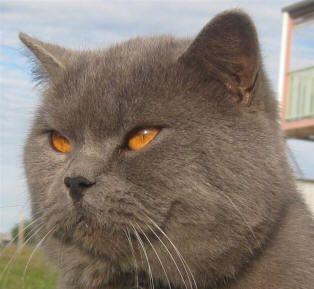 British shorthair cat club australia