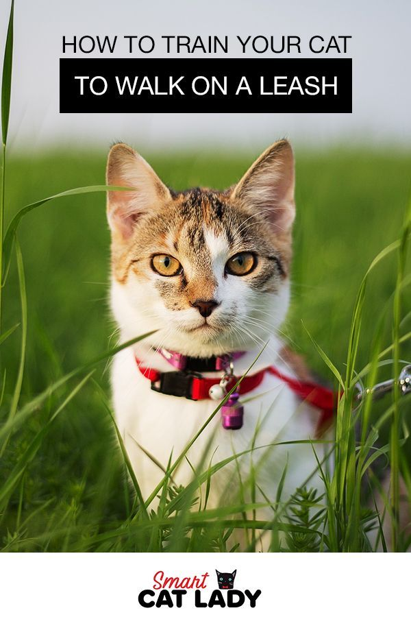 How To Train Your Cat To Walk On A Leash Cat Leash Cats Outside Cat Training