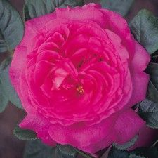 CHARTREUSE DE PARME | Roses by Name | Shades of Pink | Hybrid Tea | Award Winners