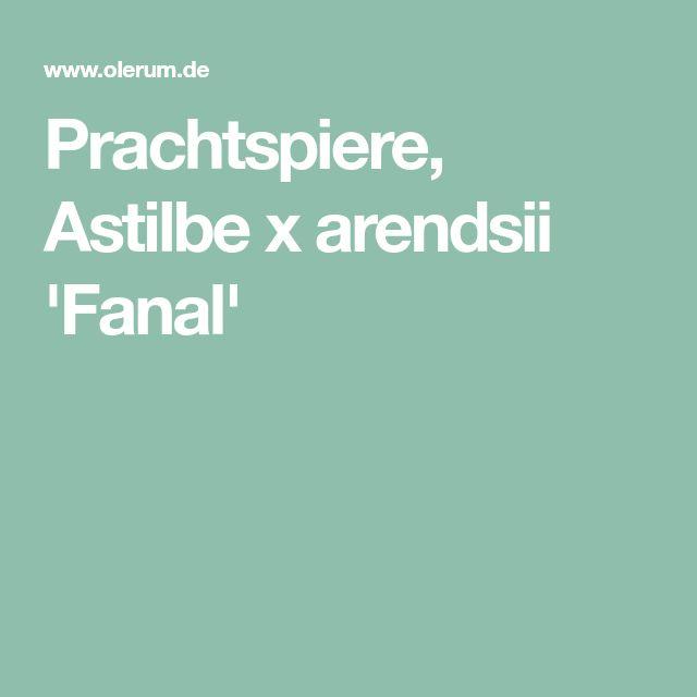 Prachtspiere, Astilbe x arendsii 'Fanal'