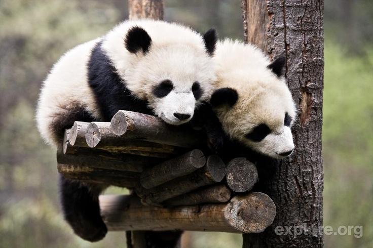 Panda bear cubs cuddling at Wolong Reserve in China.