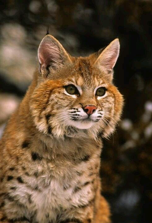 Bobcat...I have these in my garden on Larkspur Hill occasionally. They never lose a staring contest with me.