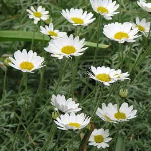 Anthemis punctata subsp. cupaniana - Plants for Dry gardens direct from PlantsToPlant