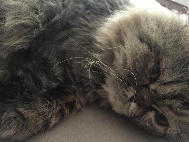 Persian Cat Rescue In Nj