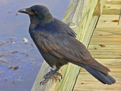 crows - Google Search