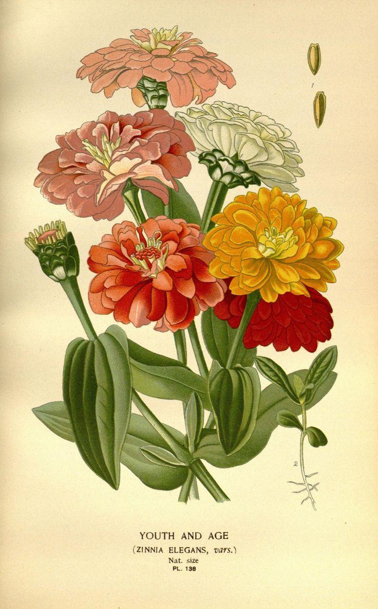Zinnia, Botanical illustration, watercolor, painting, art
