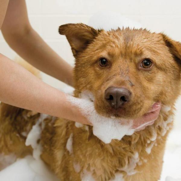 Como tirar o cheiro de cachorro da minha casa. O cheiro corporal dos cachorros é bem mais intenso que o de outros animais de estimação, como por exemplo os gatos, e não é de estranhar que nossa casa acabe impregnada desse cheiro, apesar de manter ...