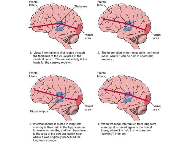 12 Best The Brain Memory Images On Pinterest Brain Memory