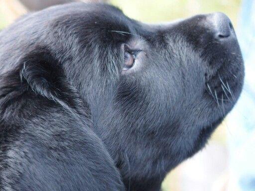 Pearl, labrador puppy