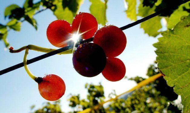 """¿Cómo serán los vinos """"del cambio climático""""?"""