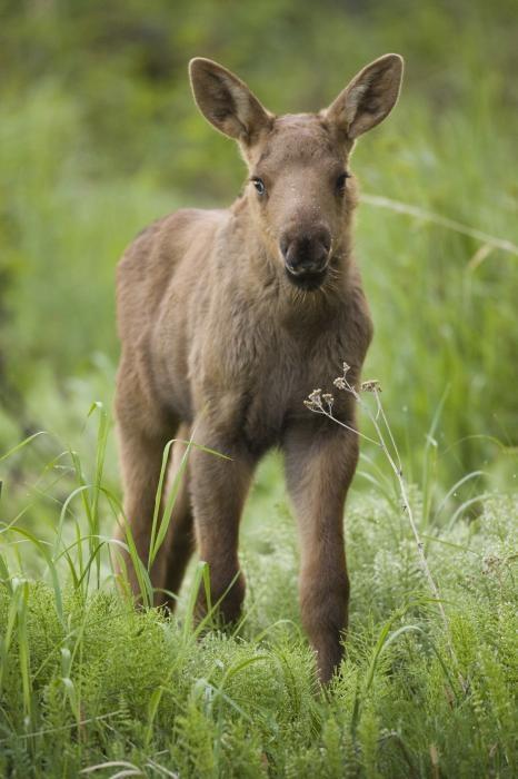 ~~ Cute Moose Calf ~~ by far my fav animal :)