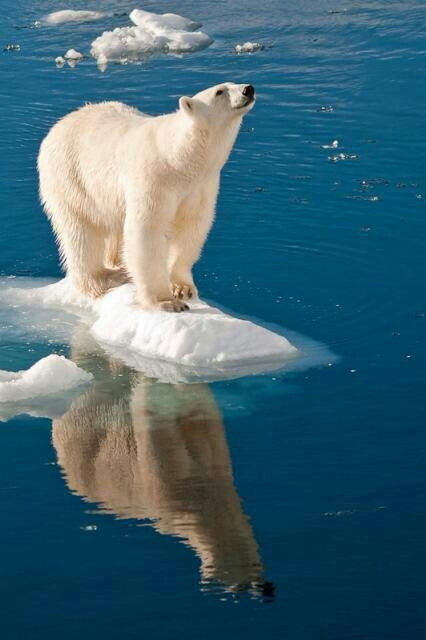 ... on Pinterest | Baby polar bears, Polar bear cubs and To find out