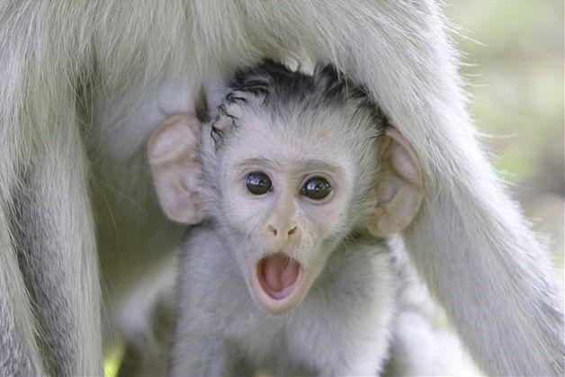 Imagem: Filhote de babuíno embaixo de sua mãe.